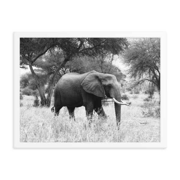 Elephant in Savanna. Framed Photo Poster