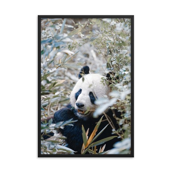 Panda.  Framed Photo Poster