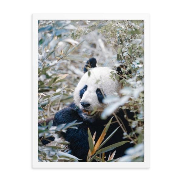 Panda.  Framed Photo Poster